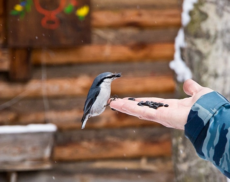Taltsy Museum. Nuthatch